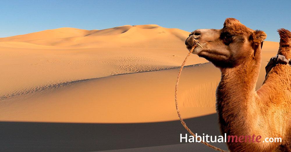 camello desierto